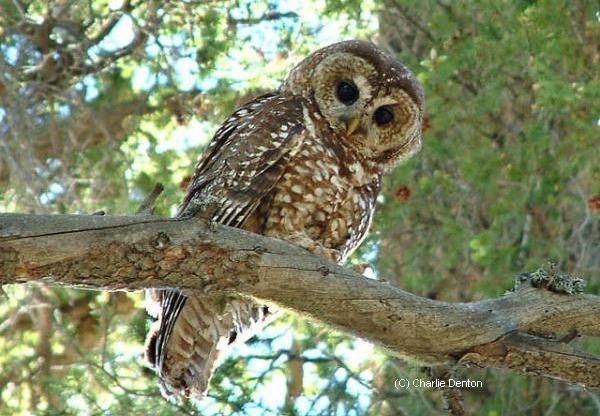Spotted-owl_Charlie-Denton-_Apache-NF-AZ
