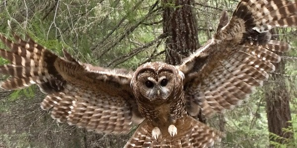 northern-spotted-owl-600x400